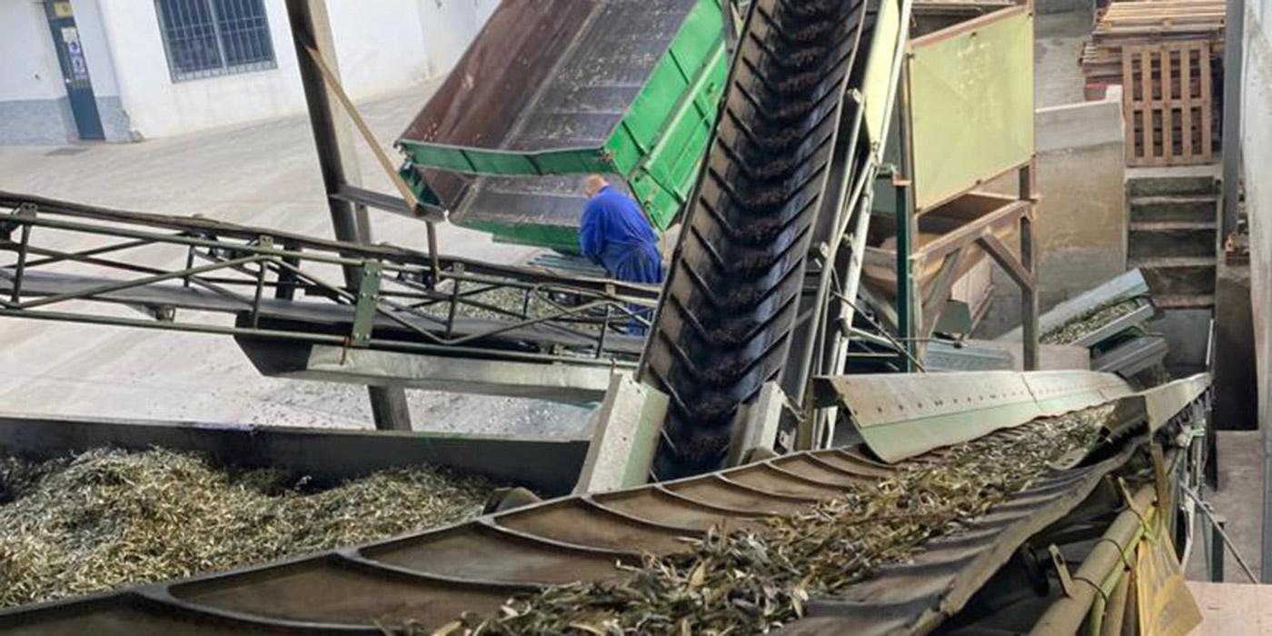 Proceso de limpieza y lavado de aceitunas
